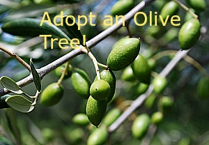 Adopt an Olive Tree – Olive Oil Delivered to your Door Fresh from Sicily and Campania
